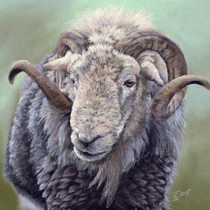 Herdwick Ram Pastel Art